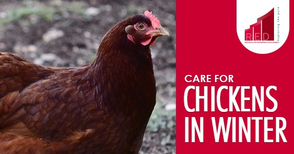 care for chicken in winter