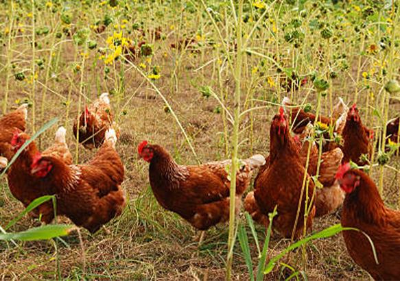free range chicken meat for sale