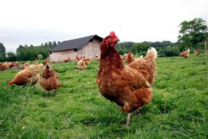 rhode island red chickens for sale in pakistan